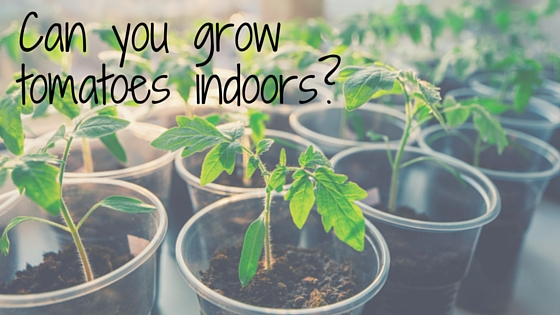 Home Gardens Can You Grow Tomatoes Indoors